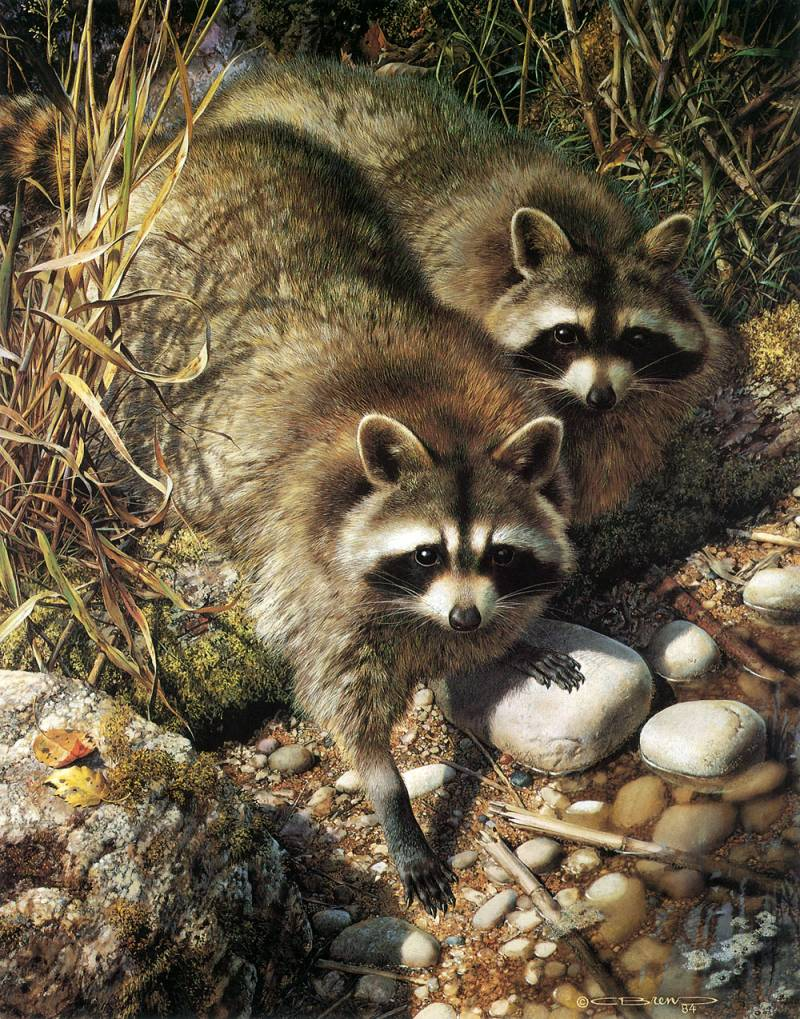 carl brenders art Raccoon Painting